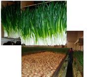 Бизнес по выращиванию зеленого лука 89